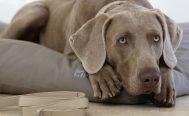 MiaCara Luvio Dog Cushion - Danish Design Co Singapore